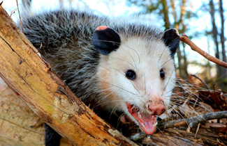 //www.alfajpestcontrol.com/wp-content/uploads/2019/01/Possums.jpg